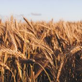 A field of ready-to-harvest wheat.